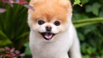 Photo of 'World's cutest dog' Boo is dead