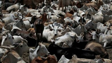Photo of Bhopal to build crematorium for cows