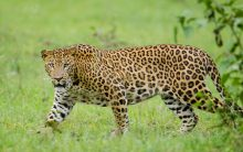 Villagers beat leopard to death in UP's Bahraich
