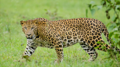 Photo of Tiger Reserve officials trap female leopard that killed boy