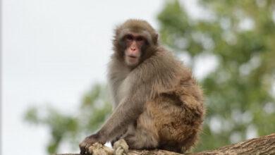 Photo of Taj Mahal police brandish catapults to scare monkeys away