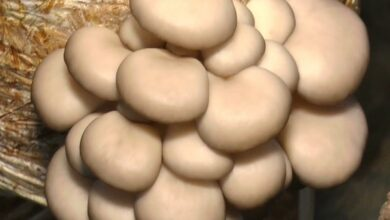 Photo of Mushrooms may prevent cognitive decline in elderly