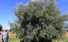 Adopt an olive tree — and breathe new life into Spanish village