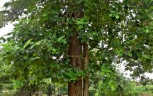 Rajasthan: Sandalwood tree stolen from judge Kishan Gujjar's home