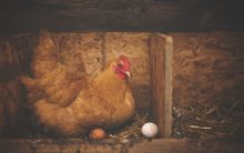 Hens that lay human proteins in eggs may help in future drug production