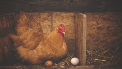 Photo of Hens that lay human proteins in eggs may help in future drug production