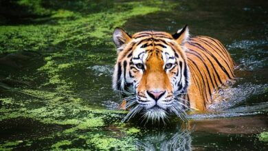 Photo of Cannibalism in MP: New threat to Tigers, as Tiger eats Tigress