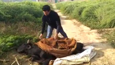 Photo of Rehan comes to rescue of ailing cow; a slap on the face of fanatics