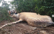 36-foot Whale found dead in middle of the jungle, experts baffled