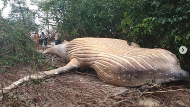 Photo of 36-foot Whale found dead in middle of the jungle, experts baffled