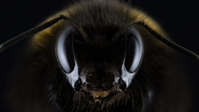 Photo of World's largest bee found again after nearly four decades