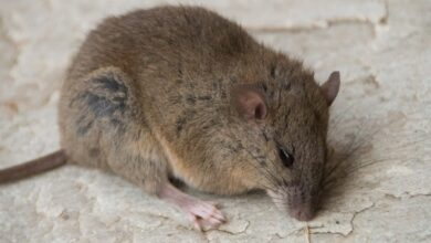 Photo of Australian rat becomes first mammal to go extinct due to climate change