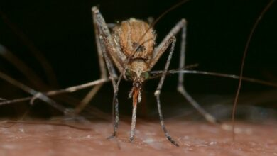 Photo of Mosquitoes can hear up to 10 metres away