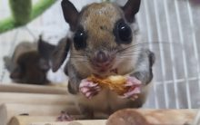 Scientists discover flying squirrels that turn hot-pink
