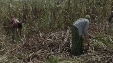 Photo of Sugarcane farmers face crisis, govt help yet to reach them