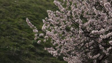 Photo of Kashmir: Almond blossom in Srinagar, exclusive pictures