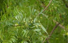 Here's how Neem is beneficial for your health!