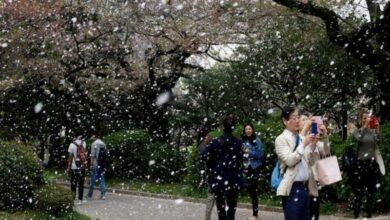 Photo of Blooming cherry blossoms add to Yokohama's beautiful landscape