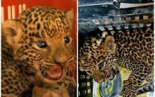 Maharashtra: 2 leopard cubs rescued by forest department, Wildlife SOS in Junnar