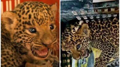 Photo of Maharashtra: 2 leopard cubs rescued by forest department, Wildlife SOS in Junnar