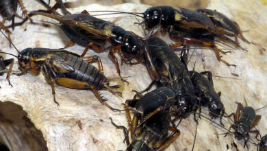 Photo of Madina's Grand Mosque infested with black crickets