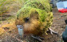 Kakapow! Rare world's fattest parrot has record breeding season