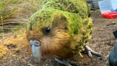 Photo of Kakapow! Rare world's fattest parrot has record breeding season