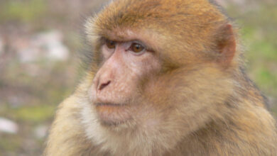 Photo of Chinese scientists create monkeys with human brain genes