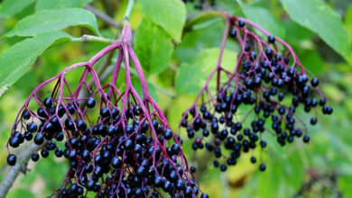 Photo of Consumption of elderberries essential to counter influenza, claims study