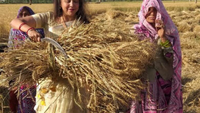 Photo of Hema Malini in full campaign mode, seen working in field with workers harvesting wheat crop