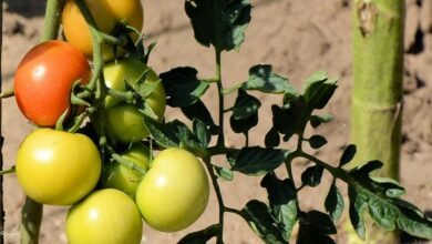 Photo of Wild tomato plants carry natural bug repellant: Study