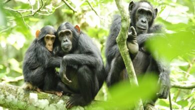 Photo of Chimpanzees may adapt to human developed habitats better than natural one: Researchers