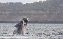 Here's what is affecting the movement of right whales
