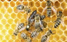 Bees can connect symbols to numbers, finds study