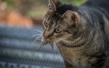 Claws in the contract: cats for hire to face down US rats