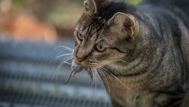 Photo of Claws in the contract: cats for hire to face down US rats