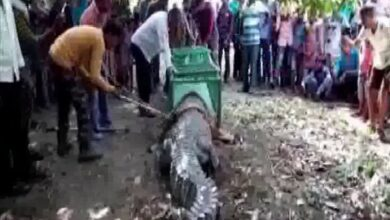 Photo of Gujarat: Crocodile strayed inside temple, devotees gather claiming it to be 'auspicious'