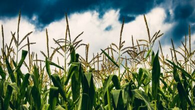 Photo of Climate change affecting food production globally