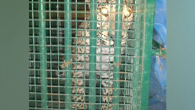 Photo of Man-eating leopard trapped in Uttarakhand
