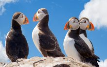 Mass die-off of puffin birds linked to climate change