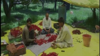 Photo of Mishri, Makhmaly among cherry varieties harvested this season in Kashmir, growers enthused