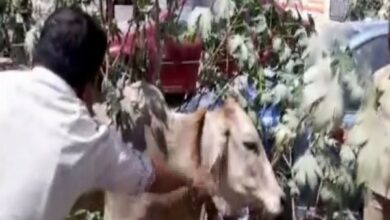 Photo of Hyderabad: Cow rescued from septic tank after 10 days