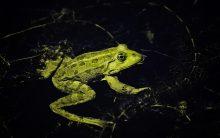 Light at night harmful for amphibians