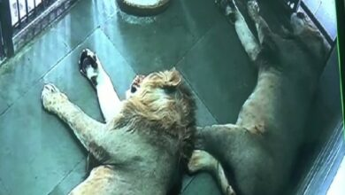Photo of Lioness gives birth to four cubs in Etawah safari