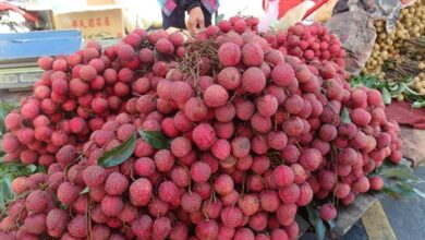 Photo of After encephalitis deaths, Odisha orders testing of litchi fruit