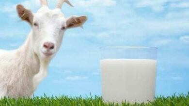 Photo of Goat milk formula can be good for infant gut health