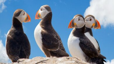 Photo of Mass die-off of puffin birds linked to climate change