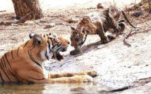 Rajasthan: Tigress T-73 gives birth to 3 cubs at Ranthambore Tiger Reserve