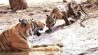 Photo of Rajasthan: Tigress T-73 gives birth to 3 cubs at Ranthambore Tiger Reserve