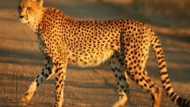 Photo of Researchers recommend keeping Cheetahs in zoological gardens to curb their decreasing amount